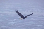 Bald-Eagle-Newfoundland-9.jpg