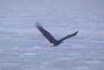 Bald-Eagle-Newfoundland-9.jpg
